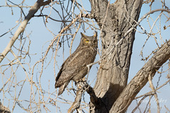 March 10, 2018 - A Great Horned Owl keeping watch in Adams County. (Tony's Takes)