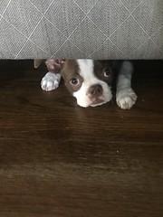 terrorist (haint_blue) Tags: regret evil theworst awful cute puppy bostonterror redbostonterrier bostonterrier dog iphone