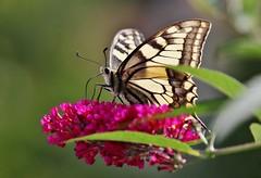 Schwalbenschwanz (Papilio machaon) (Hugo von Schreck) Tags: hugovonschreck schwalbenschwanz papiliomachaon canoneos5dsr butterfly falter schmetterling macro makro insect insekt fantasticnature tamron28300mmf3563divcpzda010