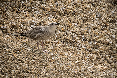 Juvenile herring gull on cockles (Danni Thompson) Tags: crab winkle way canterbury whitstable kent 2017 summer august bird nature herring gull cockle seaside seabird food shell
