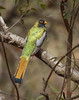 Elegant Trogon  Huachuca Canyon (slsjourneys) Tags: eleganttrogon huachucacanyon arizonabirds