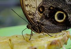 "Craving for pina colada (Millie Cruz *Catching up slowly!) Tags: ""eyesofmarch"" soe ""animalplanet"" heom pinacolada pineapple buttlerfly hersheygardens hersheypa indoor insect nature owleyes"