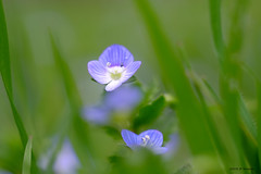 Tendre véronique (jpto_55) Tags: fleur bleu veronicapersica véroniquedeperse macro bokeh xe1 fuji fujifilm omlens om50mmf2macro hautegaronne france