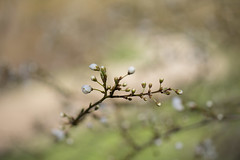 L'arrivée *** (Titole) Tags: branche bloomingtree shallowdof titole nicolefaton buds spring thechallengefactory storybookwinner