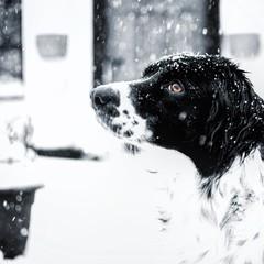(Shixthy) Tags: animal snow snowflake white springer collie blackandwhite