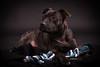 Enya (carlosvallefotografia) Tags: perro dog bullterrier stafford staffordshire mascota mascotas pet pets friend nikon sesion book reportaje pic photo photoshoot