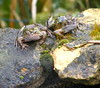 Frogs 2018.. (carlene byland) Tags: frogs garden kettering ponds water grass frogspawn path stone moss green march spring cold