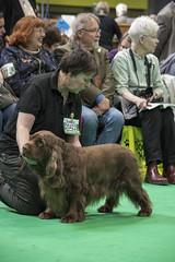 GAZ_1148 (garethdelhoy) Tags: dog sussex spaniel crufts 2018 kennel club