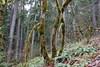 Random mossy tree shot (rozoneill) Tags: north umpqua trail national forest recreation panther mott segment oregon hiking roseburg