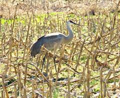 069  Sandhill Crane (baypeep) Tags: crane