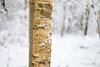 Birke (Xtraphoto) Tags: wood bokeh natur schnee snow winter baum tree birch birke