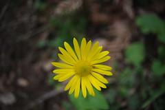(Marwanhaddad) Tags: nature flower macro lebanon spring