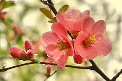 * Ornamental- Peach blossoms * (argia world 1) Tags: pesco alberodipesco peachtree fioritura blossoms goccedipioggia raindrops rami branches foglie leaves primavera spring