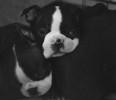 One more week (dusk_rider) Tags: dog pet boston terrier puppy baby cute adoreable black white bw american breed nikon d7200 nikkor 60mm f28d dusk rider 7dwf
