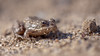 Grenouille agile (Rana dalmatina) (lolo_31) Tags: agilefrog amphibians amphibien batraciens grenouilleagile ranadalmatina ranidae