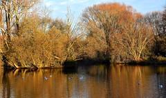 Silence is Golden. (pstone646) Tags: lake trees reflections nature season water ashford kent birds autumnal colour flora fauna gulls landscape