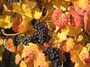 IMG_5202 Spazieren nach Sooß mit Oma+Opa, 11.10.2008 (MQ73) Tags: spazieren herbst 2008 oktober weingarten wein weinreben wine vineyard weintrauben grapes blätter laub baden badenbeiwien badennearvienna 11102008