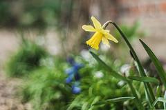 Daffodils everywhere! (Blythehill) Tags: daffodil meyeroptik oreston m42 1850 meyeroptikgorlitz