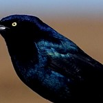 Grackle Bird thumbnail