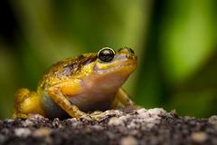 Black Mountain Nursery Frog (Cophixalus saxatilis) (Rhys Sharry) Tags: cophixalussaxatilis microhylidae wildlife cophixalus vulnerablespecies anura australia amphibian frog cooktown blackmountainnurseryfrog amphibia rhyssharry queensland