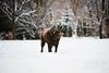 Wind him up (Dan Haug) Tags: chocolate labrador retriever dog pet mansbestfriend lab snowy winter shaking windhimup ottawa fujifilm xh1 xf56mmf12r xf56mm yard trees es electronicshutter