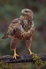 Common Buzzard (oddie25) Tags: canon 1dx 600mmf4ii buzzard birds birdphotography bird birdofprey nature naturephotography wildlife wildlifephotography