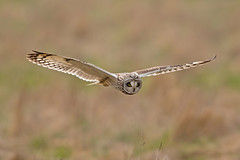 Short Eared Owl (drbut) Tags: shortearedowl asioflammeus owls birdofprey bird birds avian nature wildlife canonef500f4lisusm