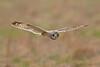 Short Eared Owl (drbut) Tags: shortearedowl asioflammeus owls birdofprey bird birds avian nature wildlife canonef500f4lisusm