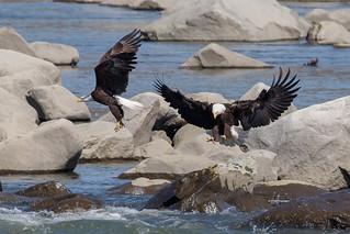 Bald Eagle at Conowingo Dam-6