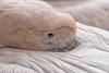 Roze Pelikaan (Nick Dijkstra) Tags: rozepelikaanpelecanusonocrotaluswhitepelicanartis roze pelikaan pelecanus onocrotalus white pelican artis