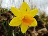 jonquille fleur (danie _m_) Tags: flower naturepic flowerpower macro flowercolors yellow lovenature beautiful wildflowers winter fleur nature jonquille