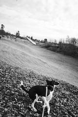 Ambition (mripp) Tags: art vintage retro black white mono monochrom dog animal landscape playing ambition ehrgeiz leica q