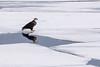 Bald Eagle on Lake Ice (NicoleW0000) Tags: baldeagle birdofprey nature wildlife lake ice water reflection