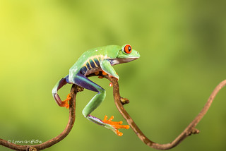 Red-eyed tree frog - Riding his bike D75_7153.jpg