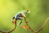 Red-eyed tree frog - Riding his bike D75_7153.jpg (Mobile Lynn) Tags: amphibian frog nature redeyetreefrog captive agalychniscallidryas fauna wildlife bournemouth england unitedkingdom gb coth specanimal coth5 ngc npc
