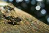 Snout Moth (Pyralidae), Singapore (singaporebugtracker) Tags: singaporebugtracker snoutmoth pyralidmoth fan dance boke octagon ボケ味 blur macritchieforest polygon moth