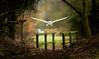 Through the tunnel (Eldorino) Tags: barn owl tytoalba tyto alba woodland woods nature wildlife raptor birdsofprey hunting uk britain england forest london waltham abbey nikon d800 spring