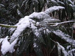 A bit of snow... [Explored March 5, 2018] (Hélène_D) Tags: hélèned france provencealpescôtedazur provence paca alpesdehauteprovence ahp manosque plante plant flower fleur myflowers laurier laurierrose winter hiver snow neige