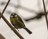 Staring Blue Tit (PDKImages) Tags: bluetit blue birds avian ukbirds trees hedges feathers wings colours plumage
