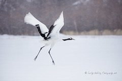 Crane take-off (pixellesley) Tags: redcrownedcranes cranes birds birdwatching animal wild free flying takeoff action panning snowing blur wings japan hokkaido grusjaponensis lesleygooding flight running