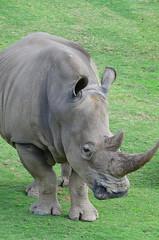 DSC_5238 (Andrew Nakamura) Tags: animal mammal rhino rhinoceros whiterhino southernwhiterhinoceros sandiegozoosafaripark safaripark escondido