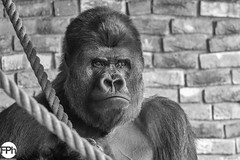 Makula, the silverback (Frankhuizen Photography) Tags: silverback zilverrug makula gorilla netherlands 2018 dierentuin nederland limburg animal dier wildlife photography fotografie animals dieren ncg monkey close up portret portrait gaiazoo kerkrade