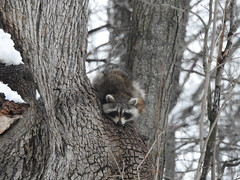 raton laveur (cdavid laurier) Tags: trees nature raccoon forest curious canada winter