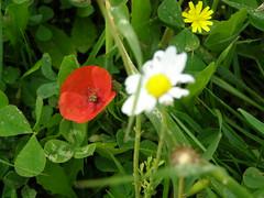 Ψίνθος (Psinthos.Net) Tags: ψίνθοσ φύση εξοχή άνοιξη spring nature countryside psinthos march μάρτησ μάρτιοσ πρωί πρωίάνοιξησ ανοιξιάτικοπρωί morning fasouli fasuli φασούλι φασούλιψίνθου φασούλιψίνθοσ fasoulipsinthos fasoulipsinthou pollen γύρη χόρτα greens μαργαρίτεσ daisies whiteflowers flowers wildflowers άγριαλουλούδια αγριολούλουδα άσπραλουλούδια λευκάλουλούδια λουλούδια μαργαρίτα daisy poppy παπαρούνα redflower flower wildflower άγριολουλούδι αγριολούλουδο κόκκινολουλούδι redblossom κόκκινοάνθοσ κόκκινοσανθόσ άνθοσ ανθόσ blossom yellowflower κίτρινολουλούδι λουλούδι ηλιόλουστημέρα μέρα day sunnyday light φώσ sunlight φώσήλιου φώσηλίου σκιά shadow