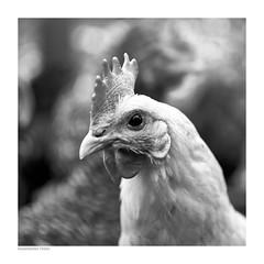 Black eyes (mechanicalArts) Tags: ramelsloher huhn blaubein chicken gallus domesticus nutztierrassen rote liste endangered livestock breeds