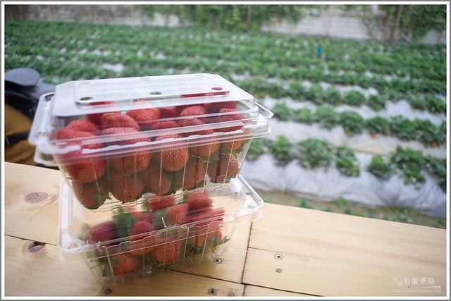 善化草莓 來去晴空農場找無農藥栽種的草莓 (33)