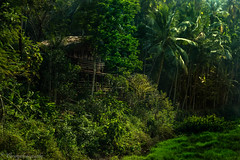 _02A0651 (cursty1) Tags: goa india asia plantation nature naturephotography landscape landscapephotography travel travelphotography wanderlust canon canonphotography jungle