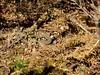 Sand Lizard (Lacerta agilis) (Nick Dobbs) Tags: sand lizard lacerta agilis reptile neonate baby hibernation emerging basking dorset heath heathland