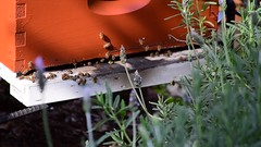 Busy Bees (jjldickinson) Tags: nikond3300 102d3300 nikon55200mmf456gedifafsdxvrnikkor promaster52mmdigitalhdprotectionfilter wrigley insect bee honeybee apismellifera beehive longbeach