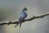 Grey-rumped Treeswift (female) (Ken Goh thanks for 2 Million views) Tags: greyrumped treeswift bird clean background shallow depth field pentax k1 sigma 500 f45